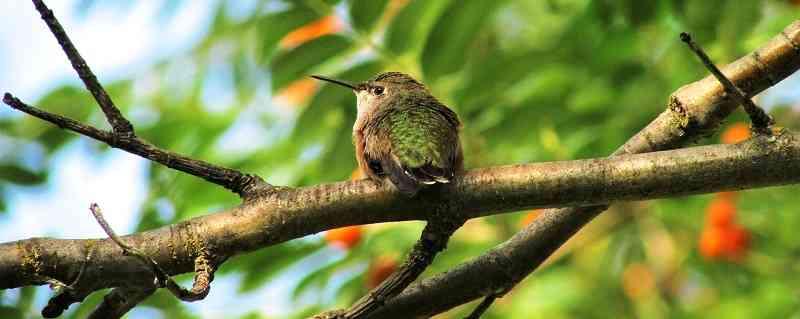 black-chinned-hummingbird