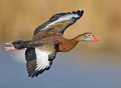 black-bellied-whistling_duck