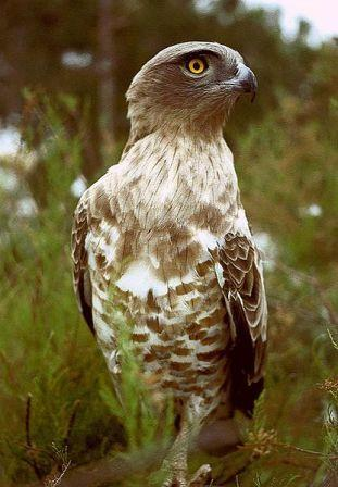 Short-toed Eagle definition