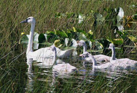 Trumpeter Swan brood
