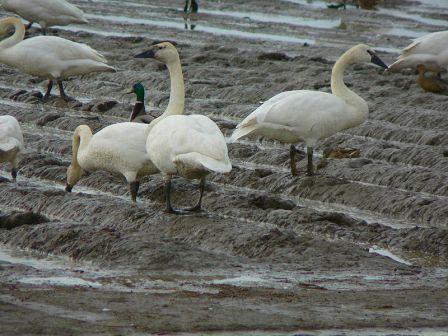 Trumpter Swans