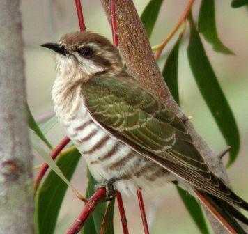 Horsfield's Bronze-Cuckoo