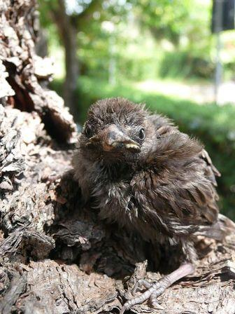 Sparrow chick